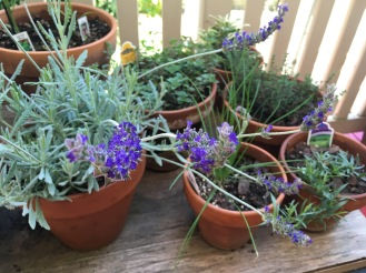 Lavender blooming in the herb garden!